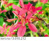 Ярко красные листья рябины