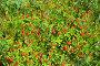Ягоды и листья шведского дёрена, фото № 6314454, снято 1 августа 2014 г. (c) Тамара Заводскова / Фотобанк Лори