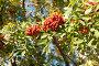 Гроздья рябины на ветвях, фото № 6370590, снято 7 сентября 2014 г. (c) Екатерина Овсянникова / Фотобанк Лори