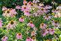 Цветы эхинацеи, фото № 6554126, снято 24 июля 2014 г. (c) Володина Ольга / Фотобанк Лори