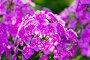 Розовые флоксы - род травянистых растений, фото № 6554134, снято 24 июля 2014 г. (c) Володина Ольга / Фотобанк Лори
