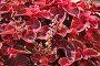 Цветущий Колеус Блюма (Plectranthus scutellarioides), фото № 6654514, снято 21 августа 2014 г. (c) Алёшина Оксана / Фотобанк Лори