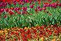Много красивых тюльпанов на клумбе весной, фото № 6658586, снято 20 мая 2010 г. (c) lana1501 / Фотобанк Лори