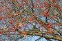 Осеннее дерево с красными ягодами на фоне неба, фото № 6665110, снято 4 ноября 2014 г. (c) Svet / Фотобанк Лори