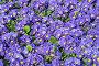 Сиреневая Примула, цветочный фон, фото № 6687602, снято 8 марта 2014 г. (c) Игорь Долгов / Фотобанк Лори