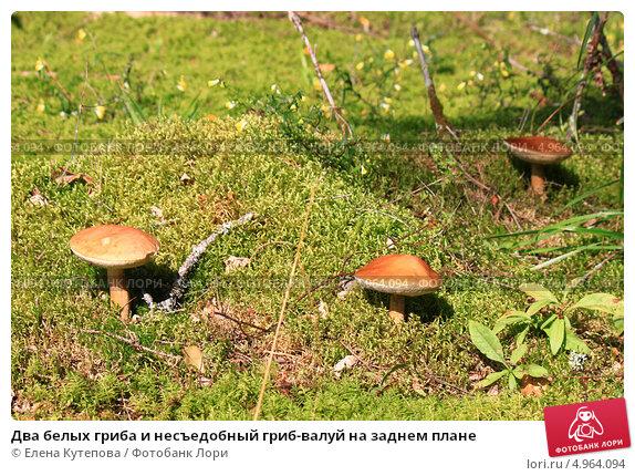 гриб подъельник фото и описание