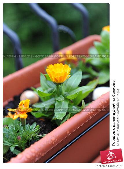 Календула балконная выращивание 30