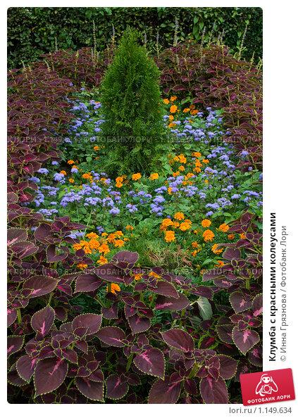 Цветок колеус 39 фото гибридный Блюме Визард уход в