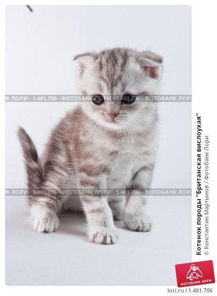 """Котенок породы  """"Британская вислоухая """", фото 1481706."""