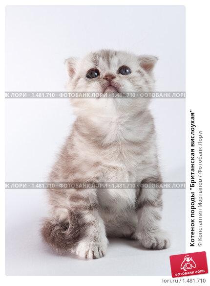 """Котенок породы  """"Британская вислоухая """", фото 1481710."""