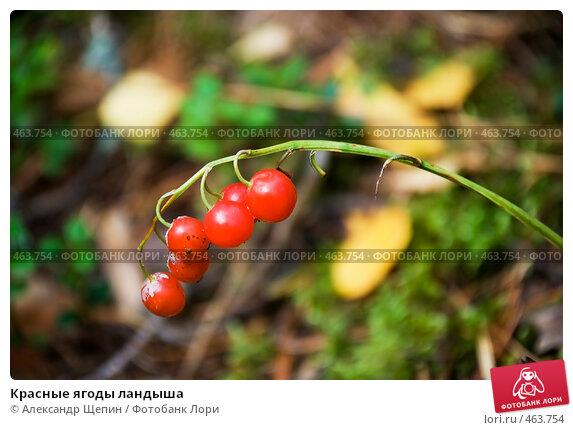 Красные ягоды ландыша, фото 463754, снято 13 сентября 2008 г. (c) Александр Щепин / Фотобанк Лори.