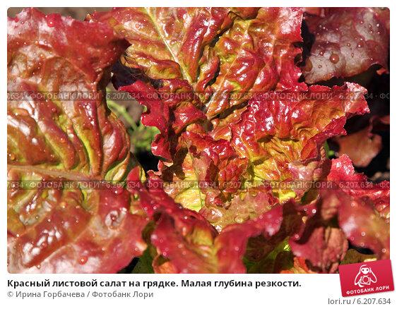 Салат красный листовой
