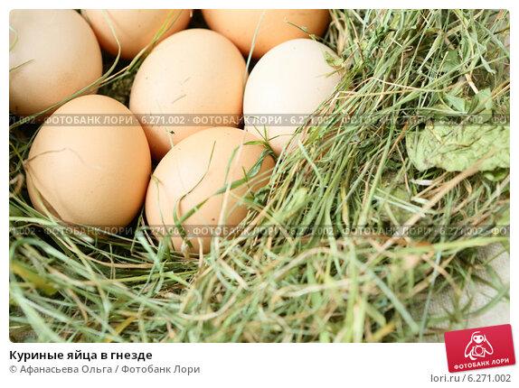 Наседка вначале дольше других задерживается в гнезде, затем вообще не покидает его