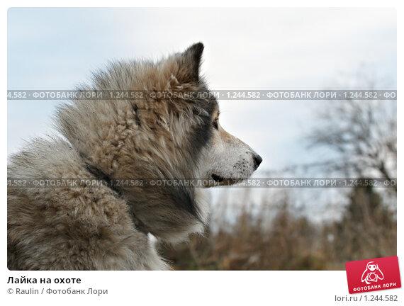 Лайка на охоте, фото 1244582, снято 3 ноября 2009 г. (c