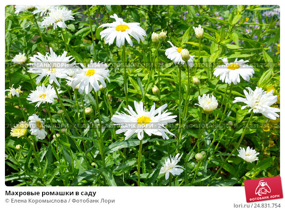 Ромашки махровые цветы
