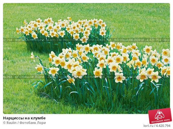 Нарцисс цветов в клумбе