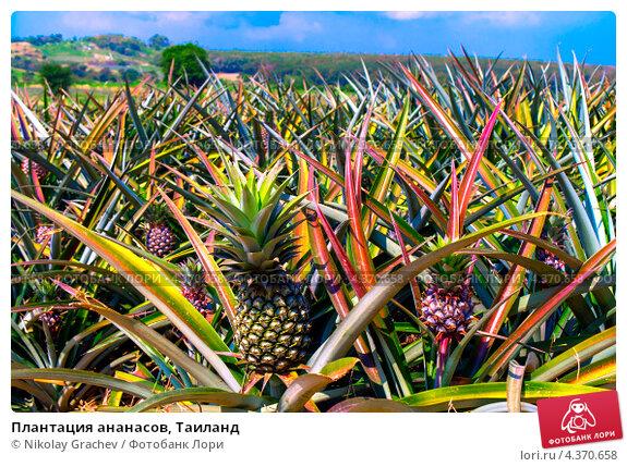 http://prv2.lori-images.net/plantatsiya-ananasov-tailand-0004370658-preview.jpg