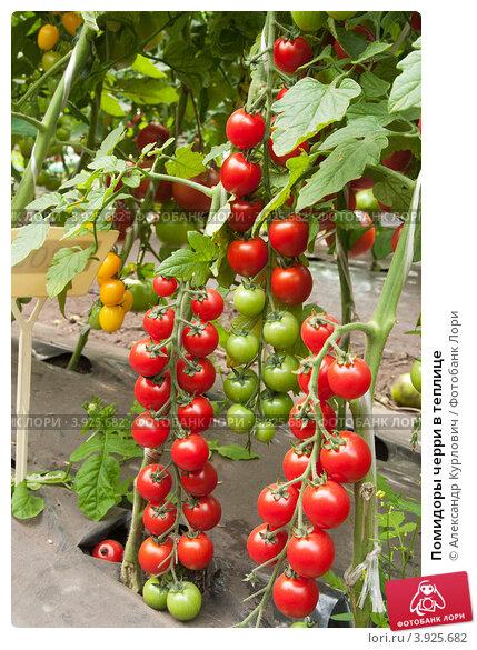 Выращивание томатов черри в теплицах 93