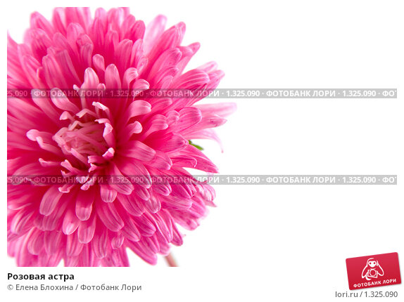 Розовая астра, фото 1325090,…
