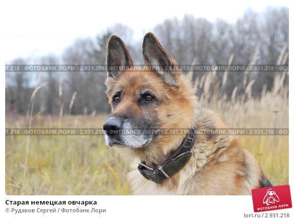 Старая немецкая овчарка, фото 2931218, снято 28 октября 2011 г. (c...