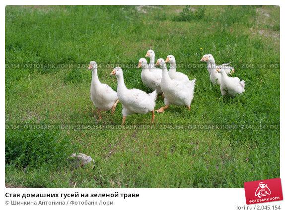 Стая домашних гусей на зеленой траве, фото № 2045154, снято 12 июля 2010 г. (c) Шичкина Антонина / Фотобанк Лори