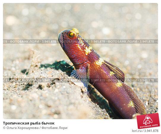 Тропическая рыба бычок, фото 3941878, снято 2 октября 2012 г. (c