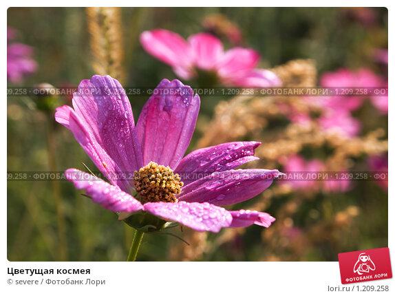 Как цветет космея