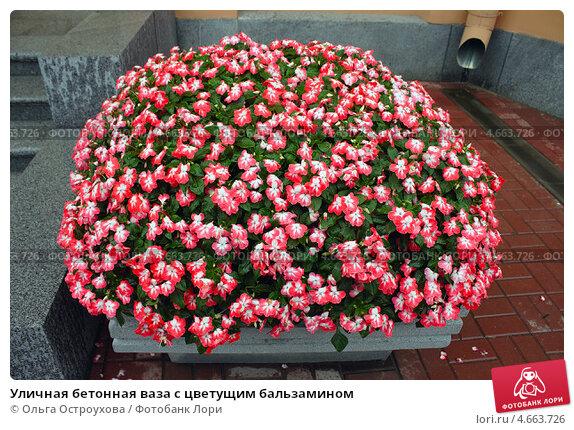 Цветы бальзамин уличная