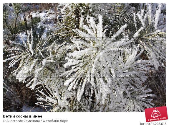 Ветки сосны в инее, фото № 1298618, снято 8 ноября 2009 г. (c) Анастасия Семенова / Фотобанк Лори