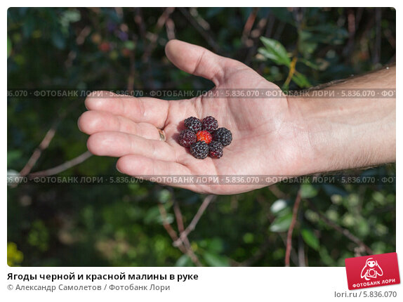 Ягоды черной и красной малины в руке, фото № 5836070, снято 20 июля 2013 г. (c) Александр Самолетов / Фотобанк Лори