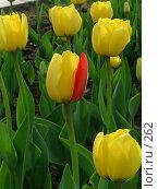 Купить «Желтый тюльпан с красным лепестком», эксклюзивное фото № 262, снято 10 мая 2004 г. (c) Ирина Терентьева / Фотобанк Лори