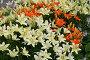 Цветущие лилии, эксклюзивное фото № 2042, снято 9 июля 2005 г. (c) Ирина Терентьева / Фотобанк Лори