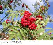 Купить «Рябина», фото № 2886, снято 20 сентября 2003 г. (c) Николай Гернет / Фотобанк Лори