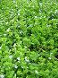 Вероника дубравная в траве, фото № 3450, снято 30 марта 2017 г. (c) Маргарита Лир / Фотобанк Лори