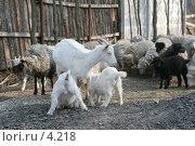 Купить «Коза с козлятами», эксклюзивное фото № 4218, снято 1 мая 2006 г. (c) Ирина Терентьева / Фотобанк Лори