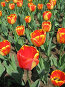 Оранжевые тюльпаны, фото № 4390, снято 21 мая 2006 г. (c) Агата Терентьева / Фотобанк Лори