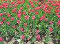 Розовые тюльпаны, фото № 4402, снято 21 мая 2006 г. (c) Агата Терентьева / Фотобанк Лори