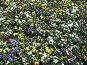 Разноцветные фиалки, фото № 4422, снято 21 мая 2006 г. (c) Агата Терентьева / Фотобанк Лори