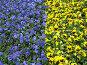 Синие и желтые фиалки, фото № 4434, снято 21 мая 2006 г. (c) Агата Терентьева / Фотобанк Лори