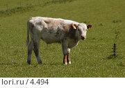 Купить «Бело-коричневый теленок », фото № 4494, снято 4 июня 2006 г. (c) Tamara Kulikova / Фотобанк Лори