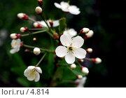 Купить «Цветы вишни», фото № 4814, снято 25 мая 2006 г. (c) Ольга Красавина / Фотобанк Лори