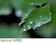 Купить «Венерин волос. Капли. Adiantum. Capillus-vineris», фото № 4902, снято 8 июня 2006 г. (c) Ольга Красавина / Фотобанк Лори