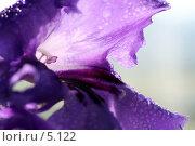 Купить «Цветок стрептокарпуса. Макро. Капли воды. На белом фоне», фото № 5122, снято 13 июня 2006 г. (c) Ольга Красавина / Фотобанк Лори