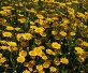 Желтые садовые ромашки, фото № 5342, снято 1 июля 2006 г. (c) Tamara Kulikova / Фотобанк Лори