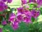 Малиновая бугенвилия , фото № 6622, снято 11 июля 2006 г. (c) Маргарита Лир / Фотобанк Лори