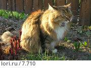 Купить «Рыжая кошка зевает», фото № 7710, снято 18 февраля 2019 г. (c) Юлия Перова / Фотобанк Лори