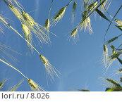 Купить «Солнечный день, зеленые колоски ржи», фото № 8026, снято 7 июля 2006 г. (c) Петрова Ольга / Фотобанк Лори
