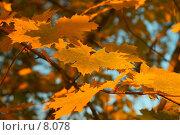 Купить «Осенние листья», фото № 8078, снято 19 августа 2018 г. (c) Vladimir Fedoroff / Фотобанк Лори