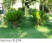 Купить «Две малютки-пальмочки», фото № 8274, снято 14 июля 2006 г. (c) Маргарита Лир / Фотобанк Лори