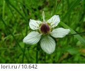 Купить «Белозор болотный, цветок крупно», фото № 10642, снято 31 июля 2004 г. (c) Вячеслав Потапов / Фотобанк Лори